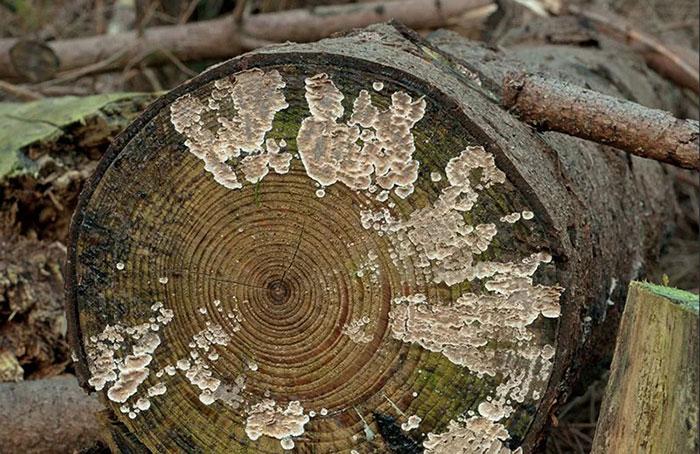 грибы разрушители древесины