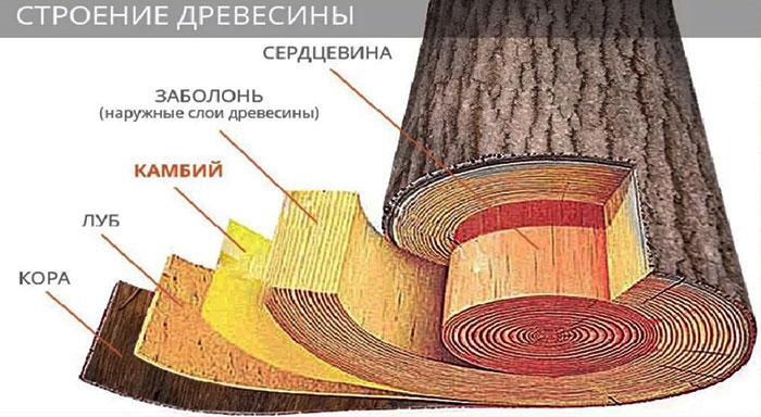 строение древесины главные разрезы ствола