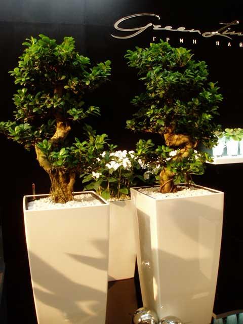 композиция из двух деревьев бонсай