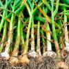 Урожай озимого чеснока